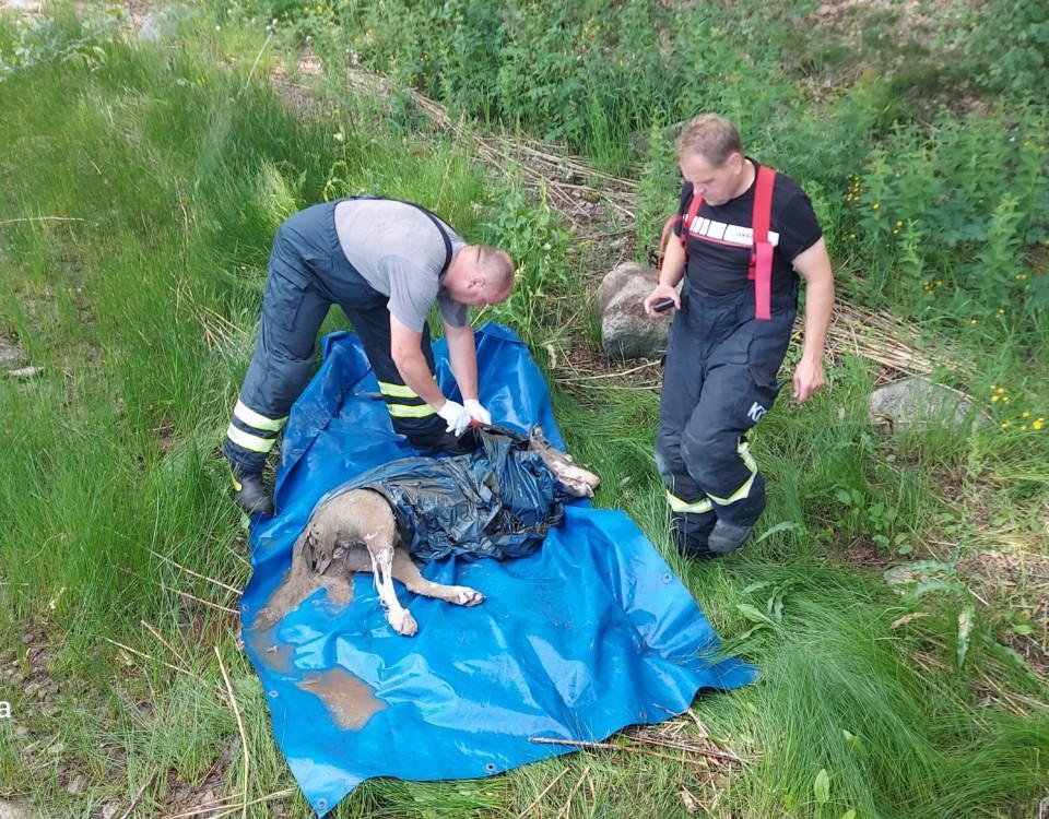Två män från räddningsverket packar in vargen i plast för att transportera den för undersökning.