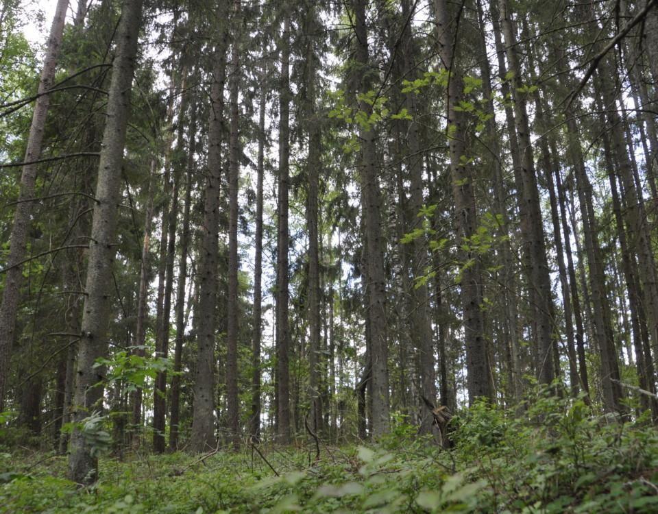 Täta trädstammar i skog