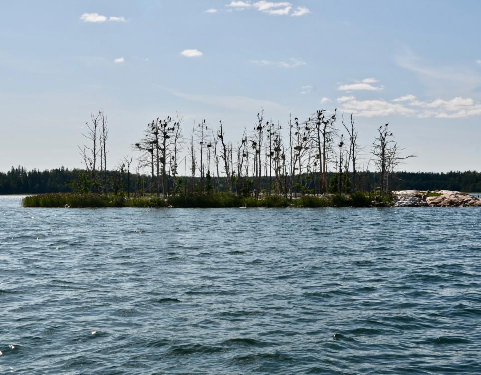 En ö full med skarvbon och kala träd.