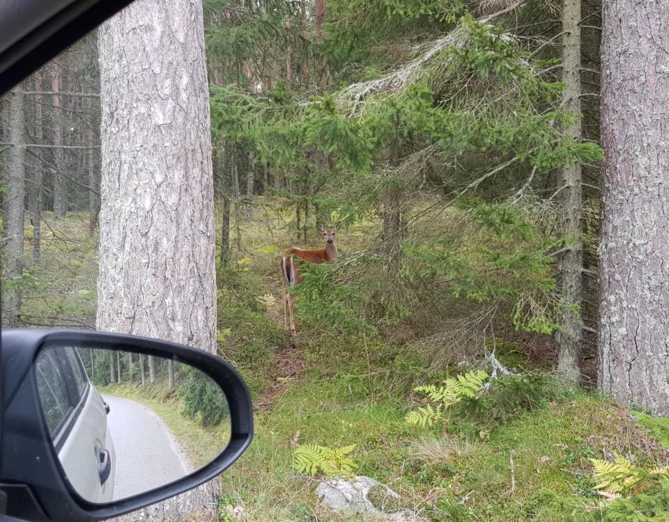 En hjort i skogsbrynet fotad ur bilfönster
